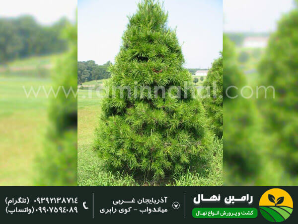 نهال درخت کاج