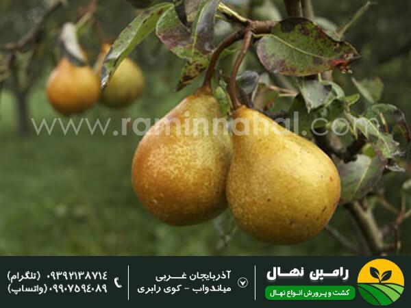 نهال گلابی شاه میوه
