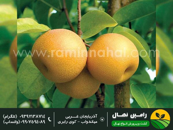 نهالگلابی پرتقالی