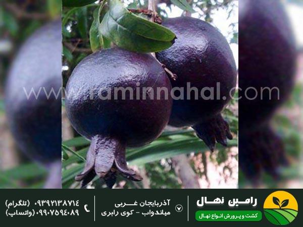 خرید نهال انار دانه سیاه