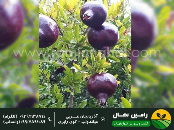 نهال انار دانه سیاه