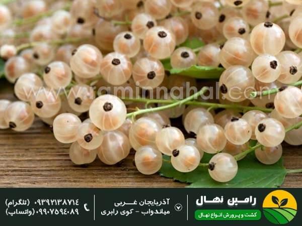 نهال انگور فرنگی سفید (وایت کارنت)